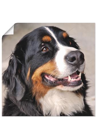 Artland Wandbild »Berner Sennenhund« kaufen