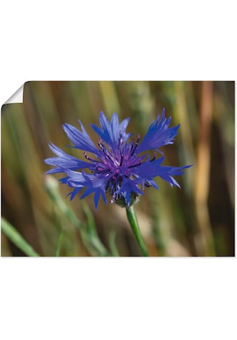 Artland Wandbild »Blaumütze«, Blumen, (1 St.), in vielen Größen & Produktarten... kaufen