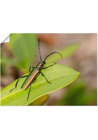 Artland Wandbild »Moschusbock«, Insekten, (1 St.), in vielen Größen & Produktarten -Leinwandbild, Poster, Wandaufkleber / Wandtattoo auch für Badezimmer geeignet kaufen