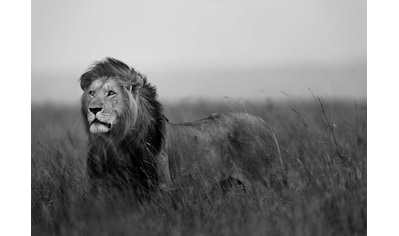 Consalnet Fototapete »Löwe«, verschiedene Motivgrößen, für das Büro oder Wohnzimmer kaufen