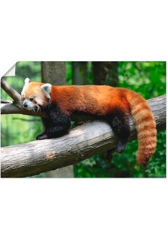 Artland Wandbild »Roter Panda«, Wildtiere, (1 St.), in vielen Größen & Produktarten -... kaufen