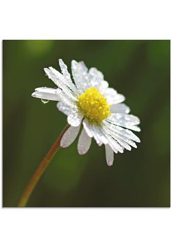 Artland Glasbild »Gänseblümchen«, Blumen, (1 St.) kaufen