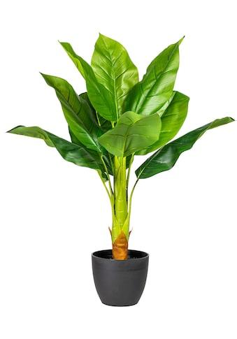 my home Künstliche Zimmerpflanze »Sammy« kaufen