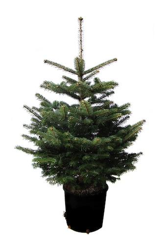 """Weihnachtsbaumland Echter Weihnachtsbaum """"Echte Nordmanntanne zum Einpflanzen"""" kaufen"""