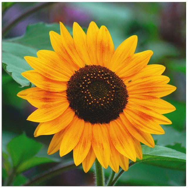 Artland Wandbild »Sonnenblume«