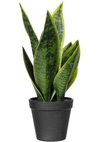 Creativ green Künstliche Zimmerpflanze »Sanseveria« (1 Stück) kaufen